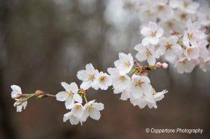Ulsan Grand Park Cherry Blossom